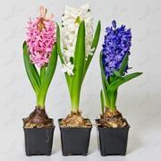 Цветы оптом к 8 марта,  крокусы,  гиацинты,  примула.